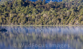 Ducks flying low over the very still Gordon river, Franklin - Gordon Wild Rivers National Park, Tasmania, Australia; Landscape