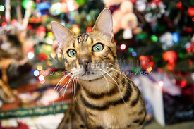 Bengal cat under a Christmas tree