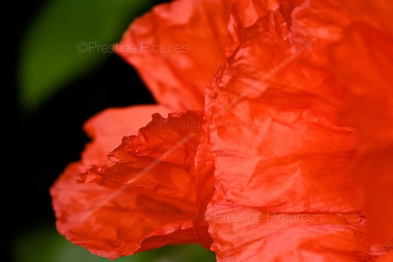 Closeup of Texture of Poppy Petals