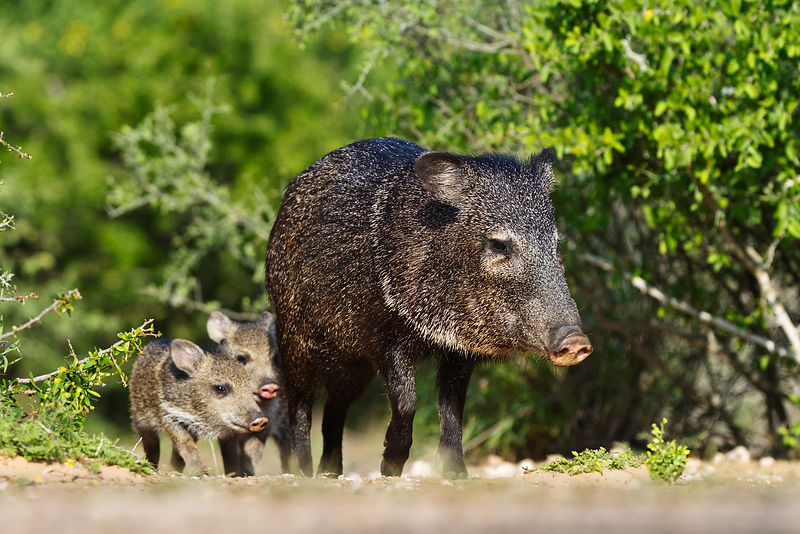 Female Javelina and Young