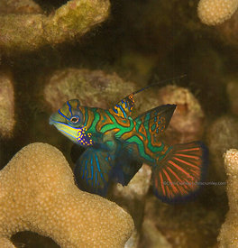 Mandarinfish male on OKeefe Reef, Yap, Micronesia