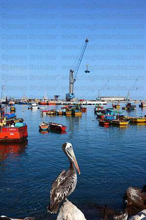 Adult Peruvian pelican (Pelecanus thagus) in breeding plumage in fishing port, Arica, Region XV, Chile