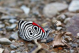 """El numero"" / ""The number"" butterfly ( Diaethria clymena )"