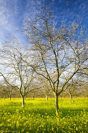 Walnut Orchard with Mustard #6