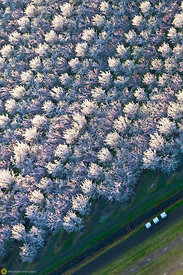 Almond Orchards in Bloom from the Air #15
