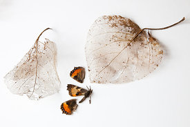 Skeleton Leaves & Red Admiral (Deceased)