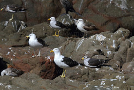 Kelp or Dominican Gull (Larus dominicanus) with flock of Band tailed or Belchers gulls (Larus belcheri)