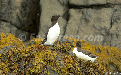 Razorbill in Outer Hebrides