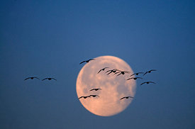 Pink-footed Geese Anser brachyrynchus flying soon after dusk and silhouetted against moon Holkham Norfolk winter