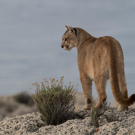Pumas wildlife photos