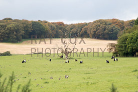 Belted Galloway herd and geese in field at Lochinch