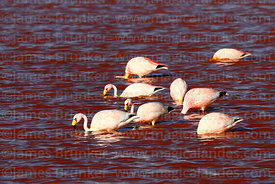 James's or Puna flamingos (Phoenicoparrus jamesi) feeding in Laguna Colorada, Bolivia