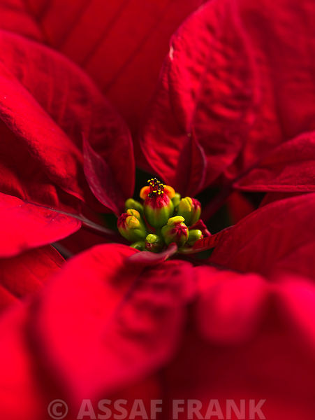 Close-up of Beautiful Poinsettia flower