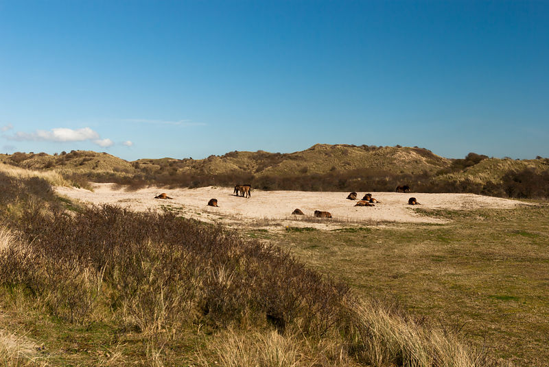 Herd of Konik horses  in a dune valley