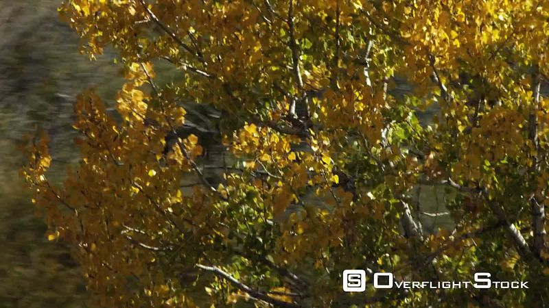 A lone cottonwood tree near Bighorn lake in norhtern Wyoming displays its golden fall color
