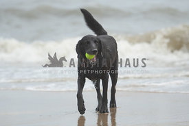 clse up of lab with tennis ball playing on the beach