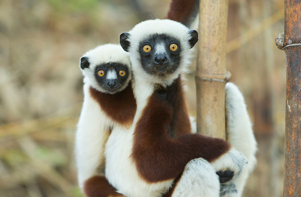 Coquerel's Sifaka and baby, Anjajavy