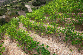 Coca plants ( Erythroxylum coca ) growing in terraces , Yungas region , Bolivia