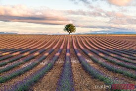 Lavender field and tree, Valensole, Provence, France