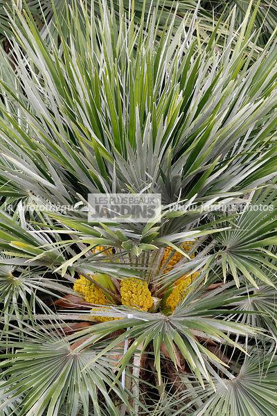 la phototh que les plus beaux jardins chamaerops humilis l palmier nain faux palmier doum. Black Bedroom Furniture Sets. Home Design Ideas