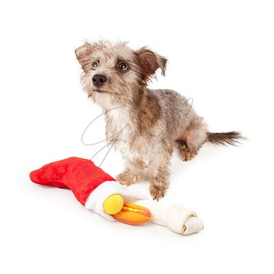 Terrier Dog With Christmas Stocking