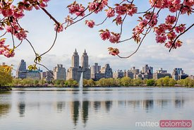 Cherry blossom in Central Park in spring, New York, USA