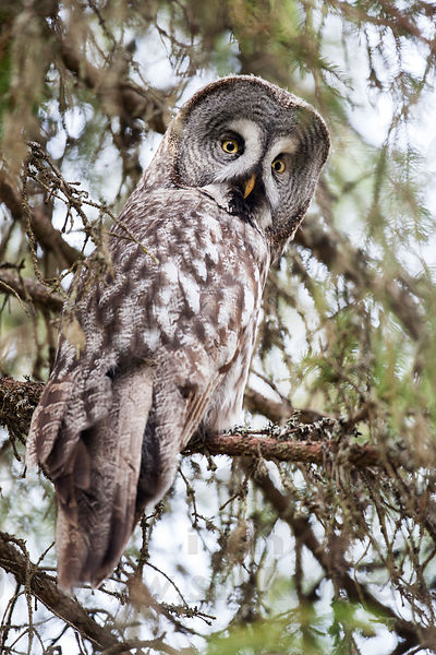 Great Grey Owl - Strix nebulosa photos