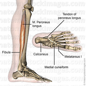 lowerleg-musculus-peroneus-longus-fibularis-muscle-tendon-side-skin-names