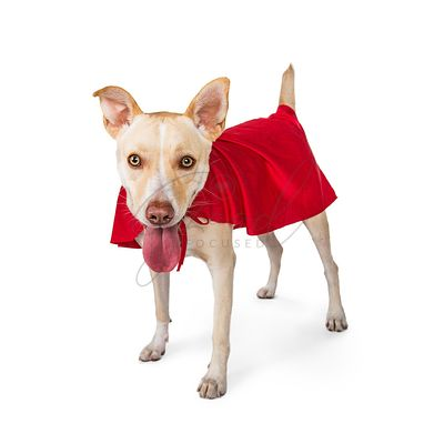 Cute Dog Wearing Superhero Cape