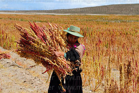 Aymara woman wearing traditional dress harvesting quinoa by hand, Oruro Department, Bolivia
