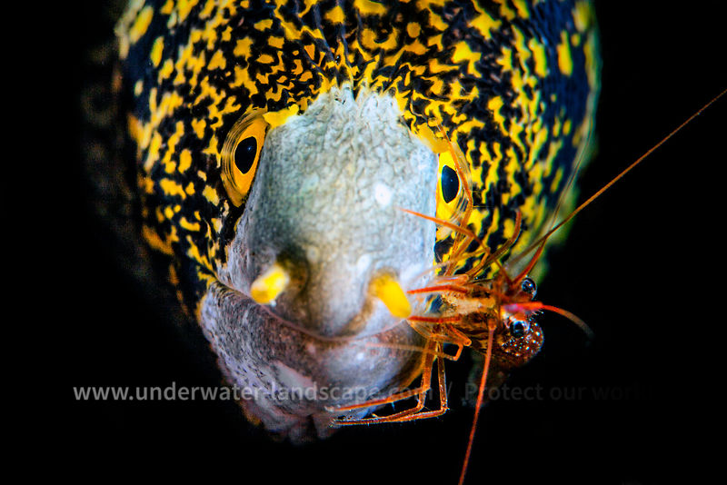 Snowflake moray and cleaner shrimp