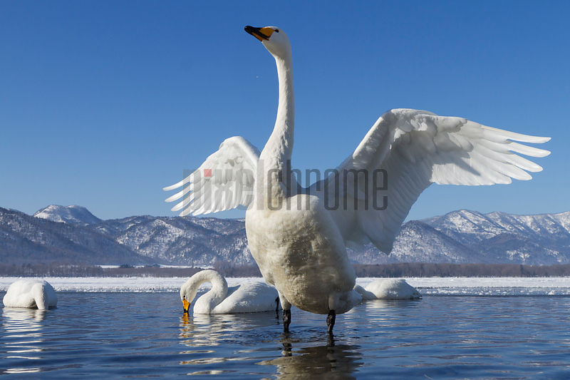 Whooper Swan Stretching its Wings