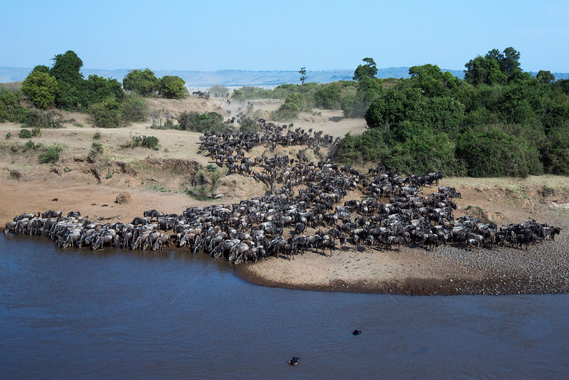 Eastern White-bearded Wildebeest (Connochaetes taurinus) herd preparing to cross the Mara River. Masai Mara National Reserve, Kenya.