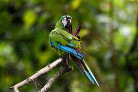 Chestnut-fronted or Severe Macaw ( Ara severus )