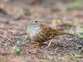 Dunnock Prunella modularis North Norfolk February