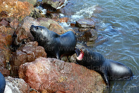 Female South American sea lions (Otaria flavescens) fighting over space on rocks