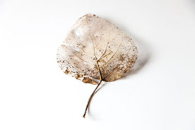 Cordate Shaped Skeleton Leaf