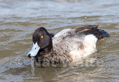 Scaup_(golden_eye-NAW_2696-March_04_2017