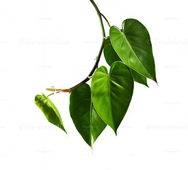 "Constricting vine, ""Epipremnum aureum"" on white background"