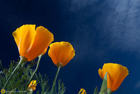 California Poppies #21
