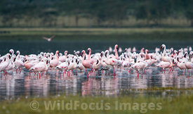 Large flock of Lesser Flamingos (Phoenicopterus minor) , Lake Nakuru National Park, Kenya; Landscape