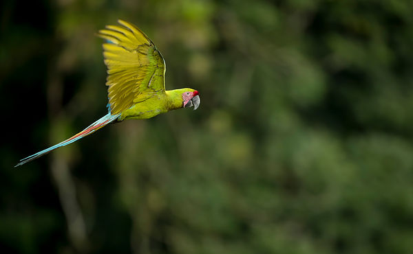 Critically endangered Great-Green Macaw