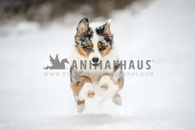 Australian Shepherd running in the snow