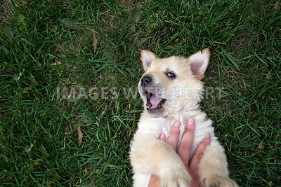 Young dog gets belly rub