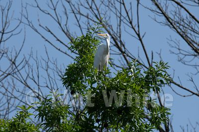 Canyon_Farm_Egret-Canyon_Farm_Egret-8-May_15_2018-May_15_2018-
