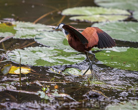 African Jacana (Actophilornis africanus) at Lake Panic Bird Hide, Kruger National Park,  South Africa; Landscape