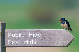 Barn Swallow Hirundo rustica on sign at Minsmere RSPB Reserve Suffolk April