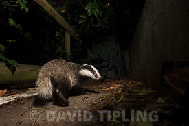 Badger Meles meles in urban garden Tunbridge Wells Kent