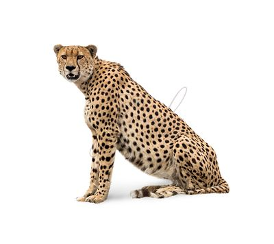 Cheetah Isolated on White