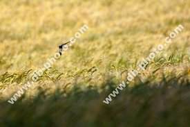 Swallow Over Barley Crop